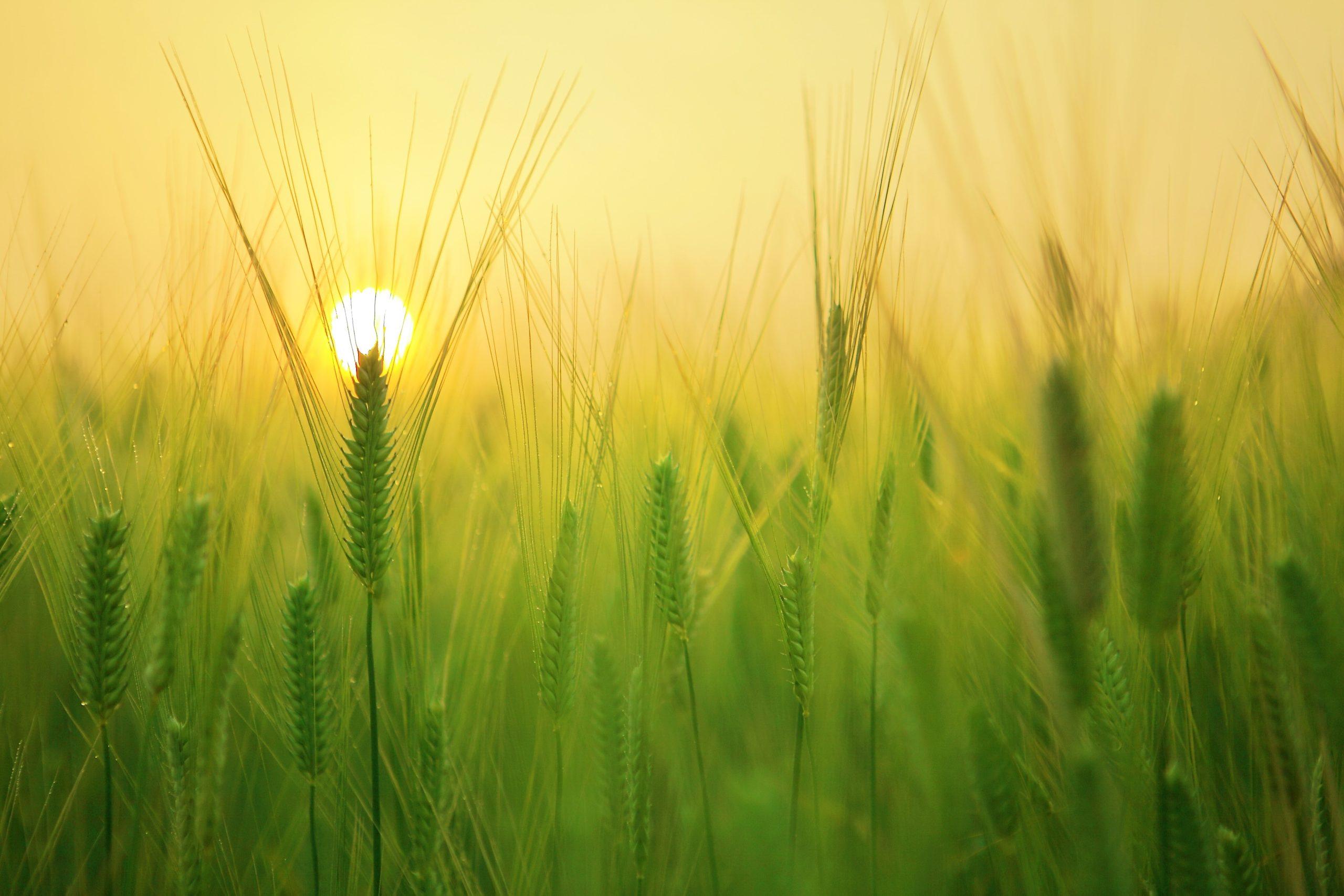 Ernteprozesse optimieren – die Rechnungslegung als zentrales Kontrollinstrument für die Bewegung des Getreides vom Feld bis zum Abnehmer